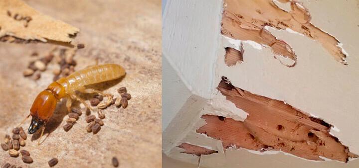 Cách phát hiện mối mọt trong gỗ 1